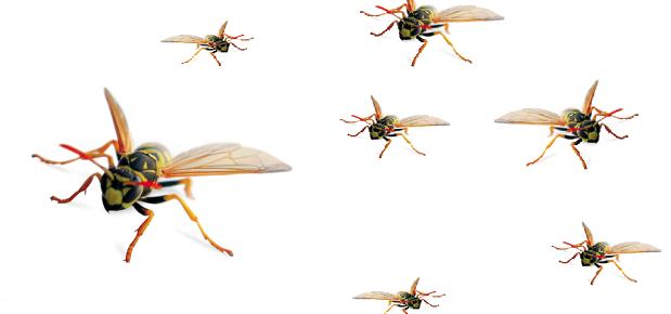 wasp-rat